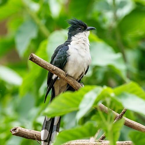Bambiha bird Punjabi Papiha Jacobin cuckoo